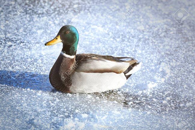 97723682-duck-near-frozen-lake-on-winter-day.s.jpg