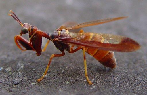 mantis wasp..jpg